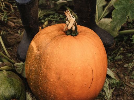 Pumpkin Picking at Rutland Pumpkins
