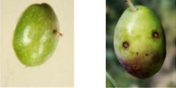 infestazione dovuta alla mosca dell'olivo