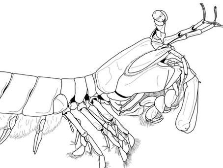 New #CoBioArt Post - Learn about the Mantis Shrimp