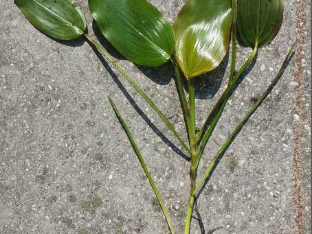 Floating Pondweed (Potamogeton natans)