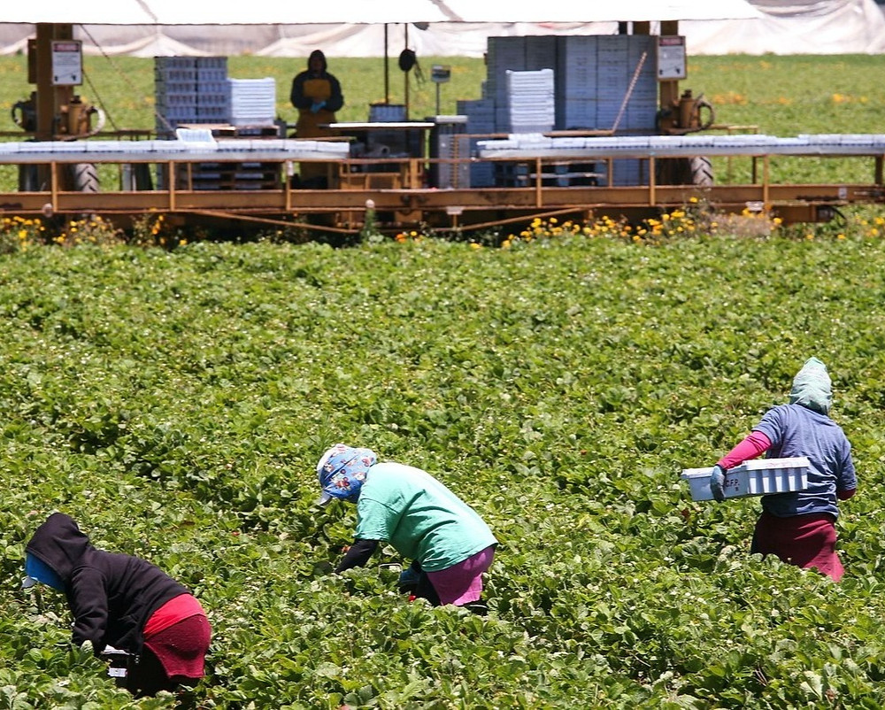 farmworkers picking produce in Oxnard, CA