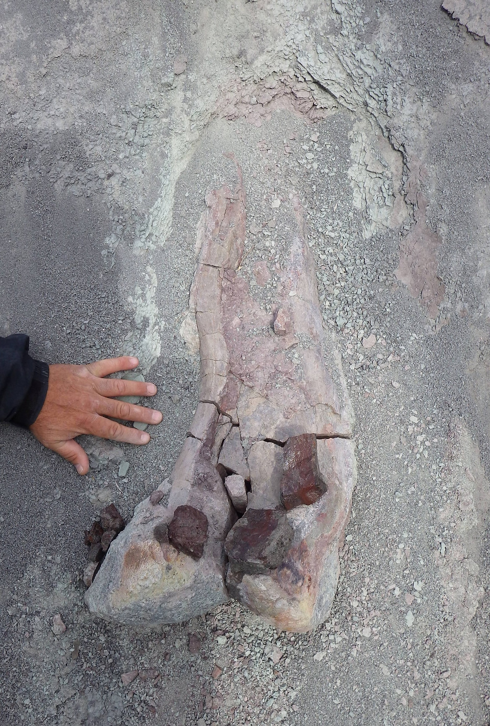 A large hadrosaur femur that is cracked needs a plaster jacket