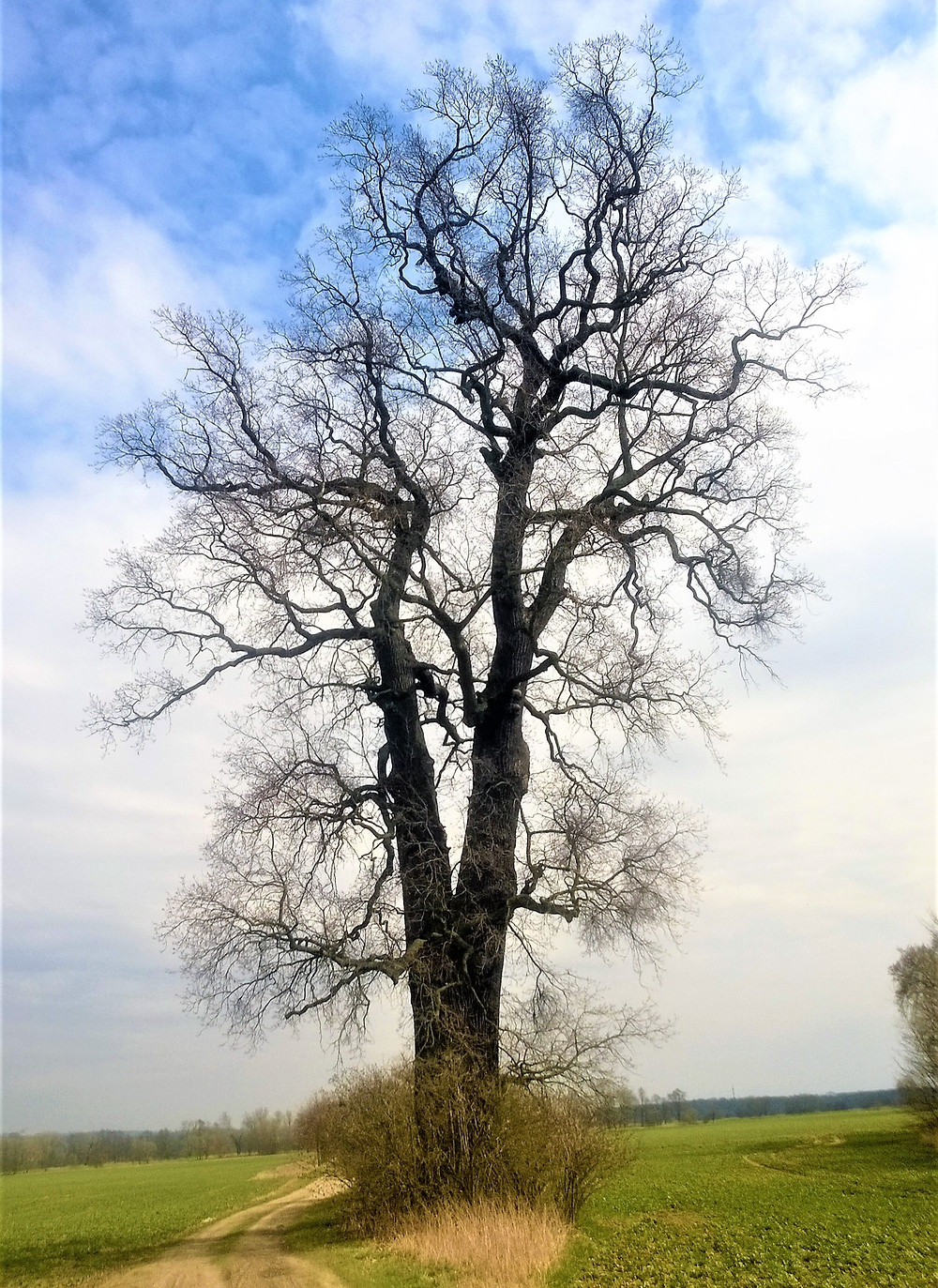Chomoutovský dub