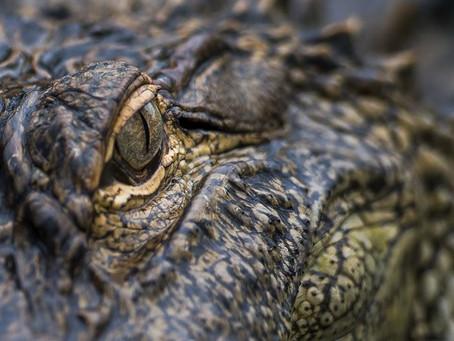 An American Alligator In Florida