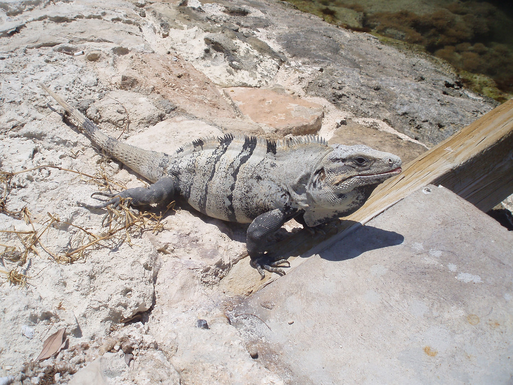 Mexican spiny-tailed iguana near a beach resort in Mexico's Isla Mujeres. Copyright Odyssean Travel
