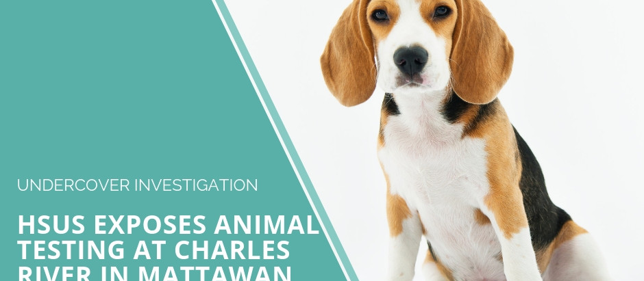 Coverage of the Charles River/Dow Dogs Undercover Investigation by the HSUS