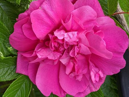 The Sweet Taste of Roses