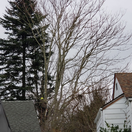 Close-in tree removal in Wood Village, OR
