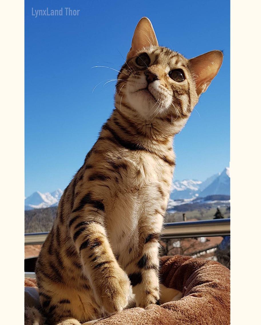 Lynxland Thor – 8G Bengal Cat