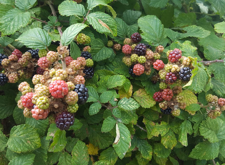 Picking Blackberries:A meeting with Enchantress