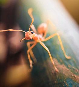 Puola skruzdės. Gal jos valgomos?