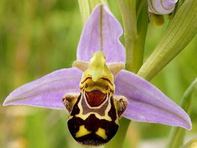 L'orchidée Abeille