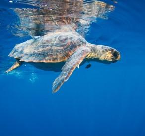 Mediterranean Sea Turtles: A Crisis