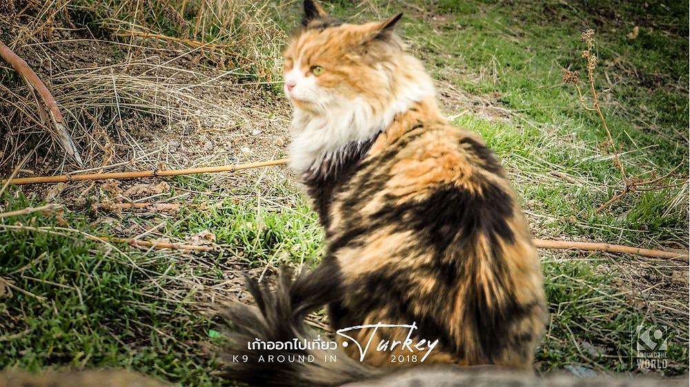 Cat Land ดินแดนแมวตุรกี