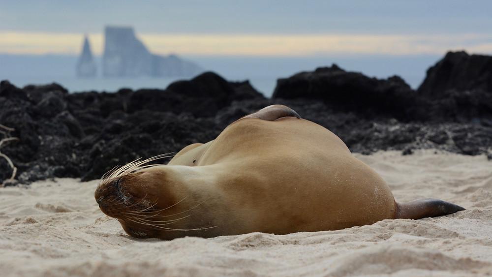 A sea lion sleeps on the beach in the Galapagos Islands