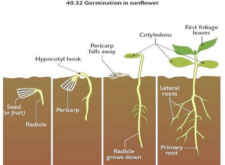 Pesticide Free Prairie Melody™ for Sunflower Microgreens?