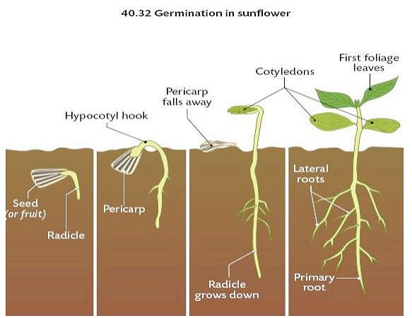 Germination of sunflower