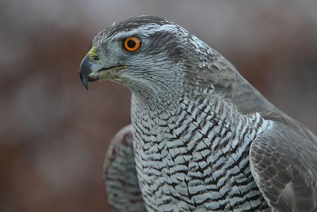 Radnor Forest.  Goswhawks