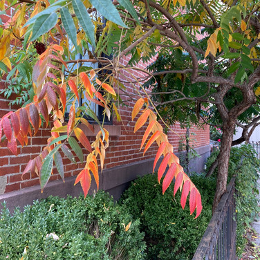Meridith McNeal, A small sumac tree on my block
