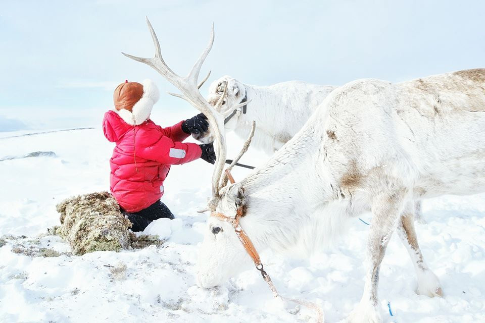 Join the Sami reindeer spring migration with a Sami family from Finnmark, Northern Norway