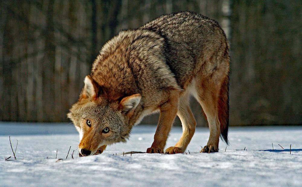 Etat-unis ,coyote, yeux clairs , bleu , animal , évolution , mammifère