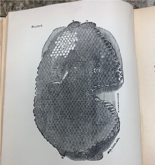Image of a Honeycomb taken from Langstroth on the Honey-Bee (1904)