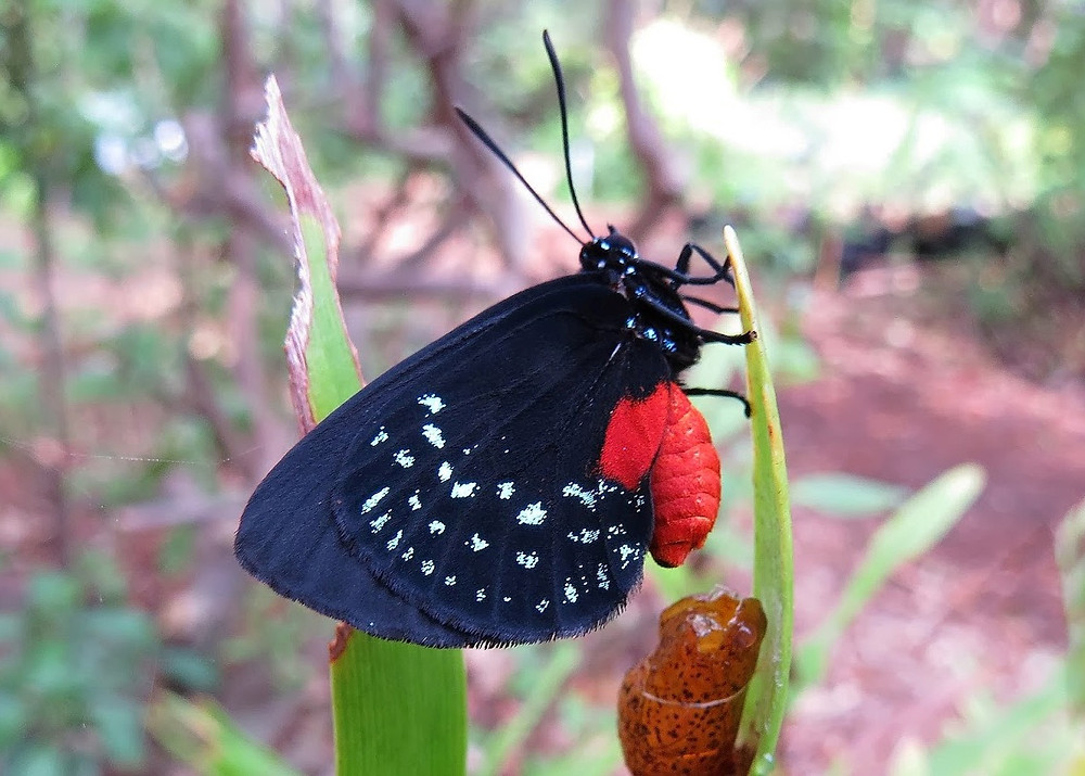 Atala butterfly on Coontie, Belen Courtyard, Miami