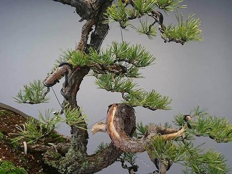 "The ""Looper"" pine"