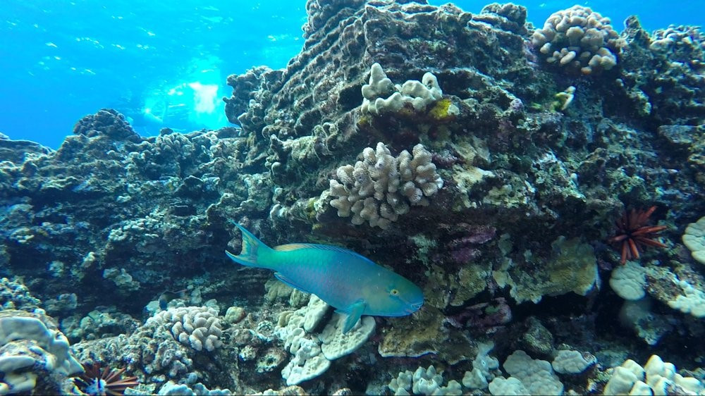 parrot fish under a reef in Hawaii, scuba diver's dream