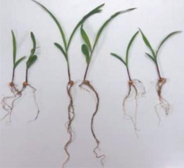 bacterias y tolerancia a salinidad en plantas