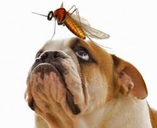 Bulldog with a mosquitto on his head