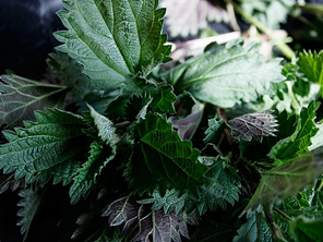 NETTLE THE GENEROUS HERB