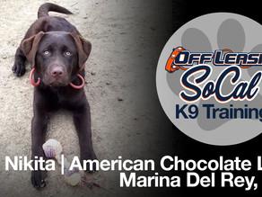 Nikita | Chocolate American Labrador | Marina Del Rey, CA