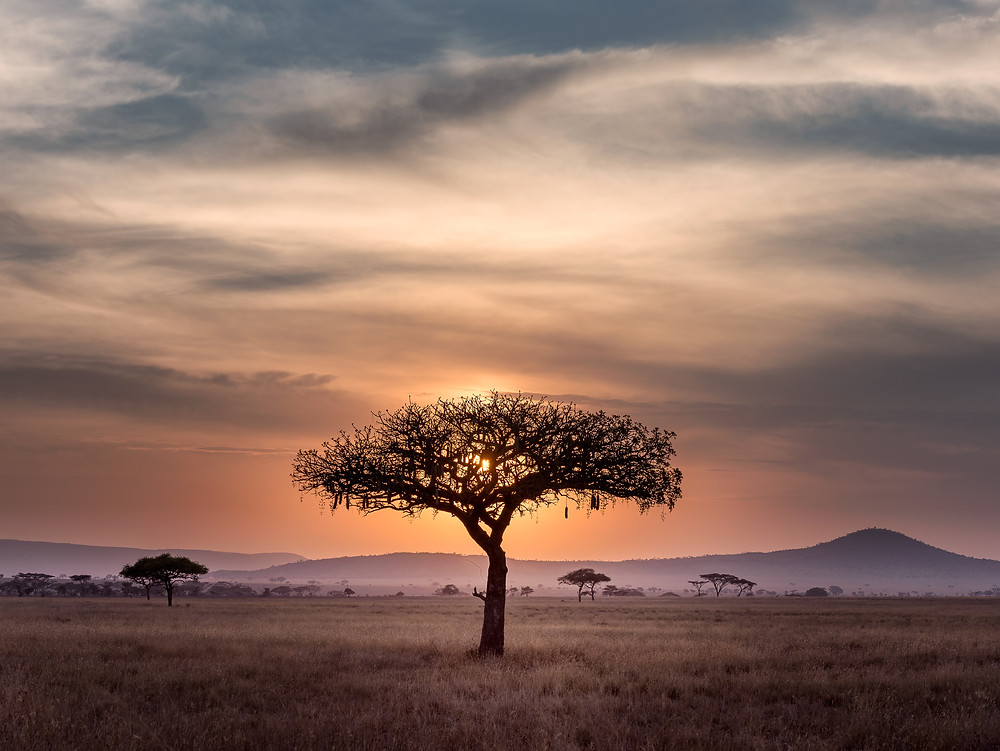 Lone tree on the African Savannah.