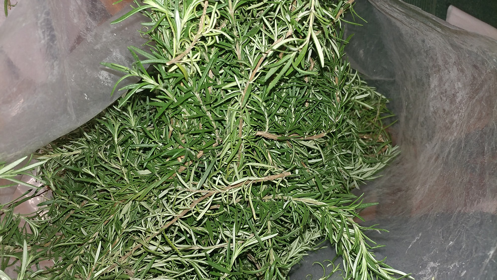 fresh cut rosemary