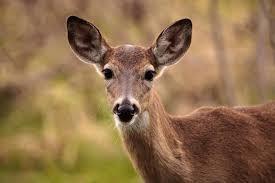 A Dear Deer, my New Best Friend