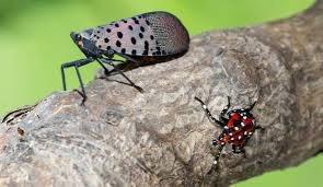 Invasive Bugs Amplify Quarantine During Pandemic