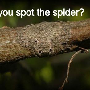 Weekly Wildlife: Wrap-Around Spider (Dolophones Conifera)