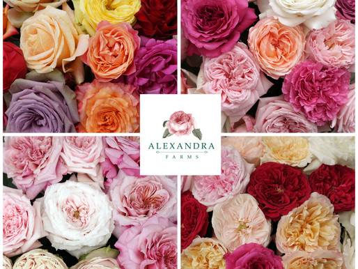 Get Garden Roses at Great Prices with Our Winter Seasonal Program