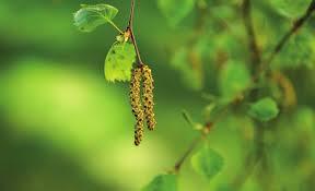 Apua kevään allergiaoireisiin