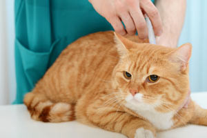 Why Microchip Your Cat?