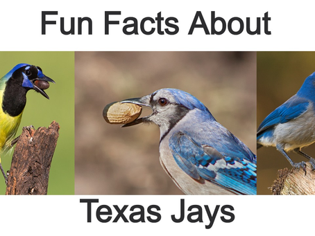 Fun Facts About Texas Jays