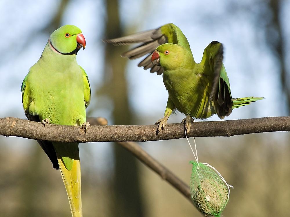 oiseaux , perruches,