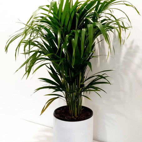 How to Grow and Care Golden Cane palm | Dypsis lutescens | Indoor Palm Cares