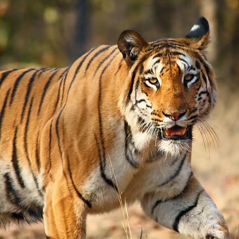 India's Wild Tigers Are up by More Than 30%