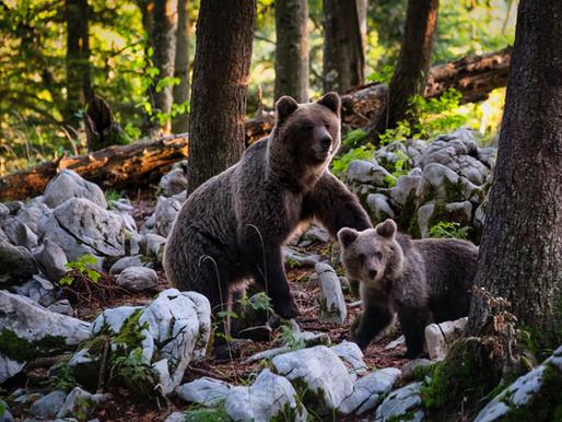Ariège : un ours tué par balle