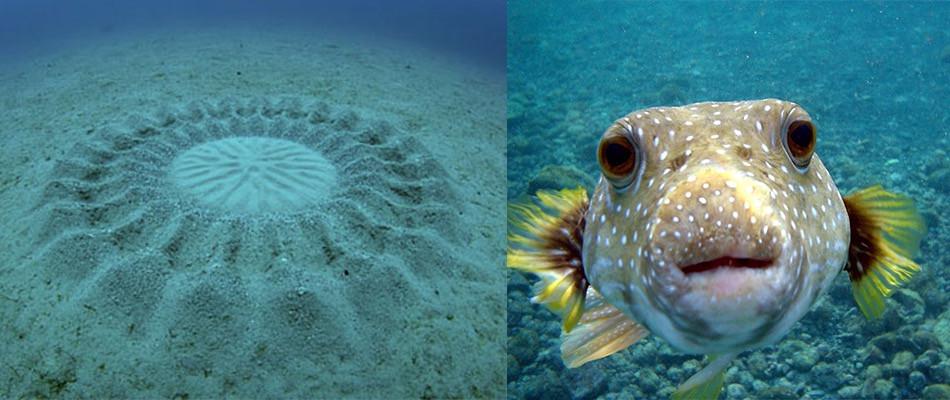 Les dessins sur le sable des des poissons globe au Japon