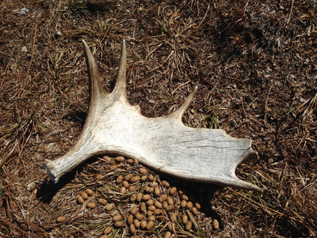 Moose Antler Shed Hunting