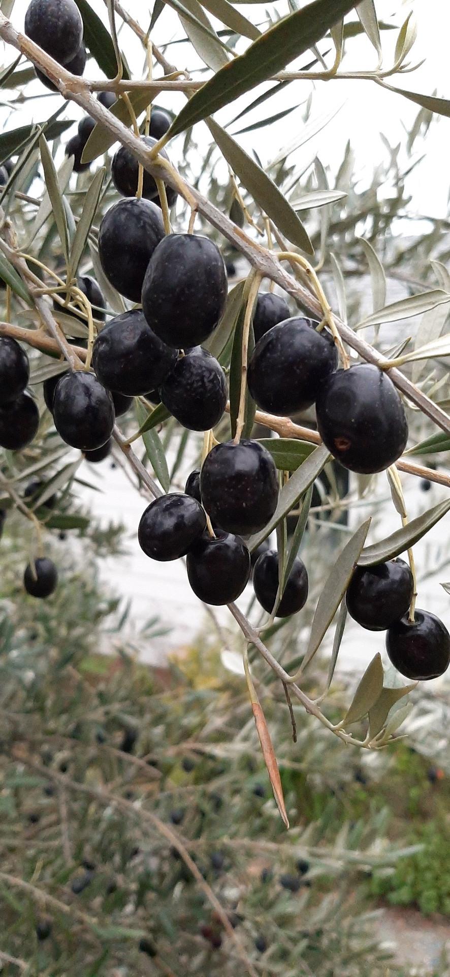 Californian Black Olives