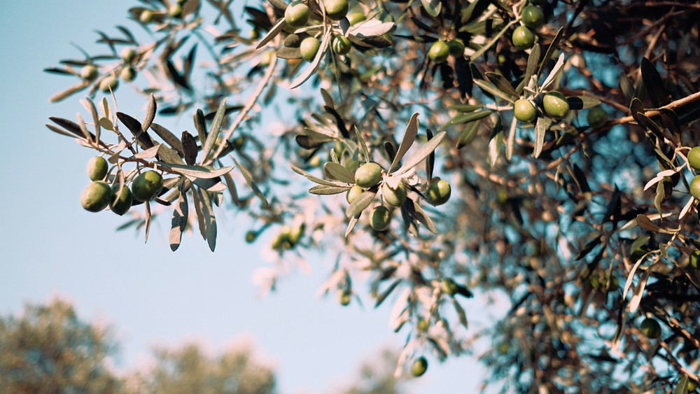 Olives hanging in a tree in Greece